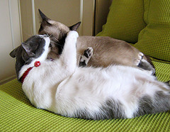 cinta-kucing.jpg